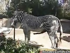 Take a look at how big and impressive zebra's cock looks like